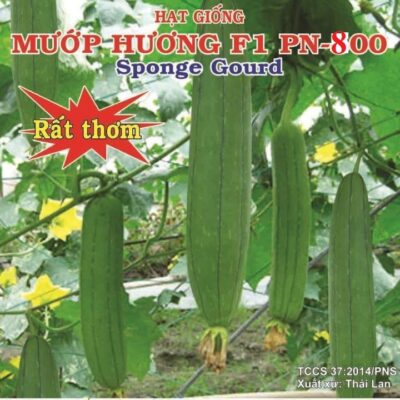 Hat giong muop huong F1 PN